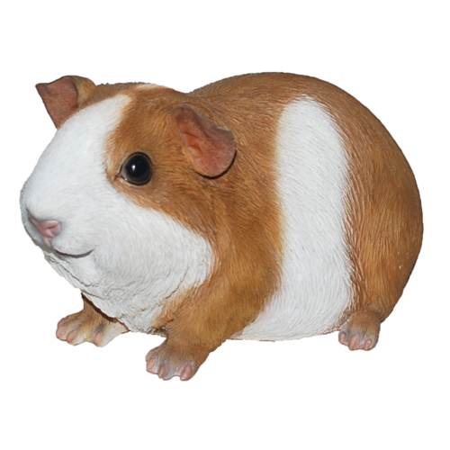 Fat brown and white guinea pig